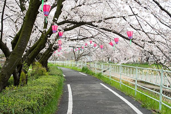 香流川沿いの桜並木東エリア