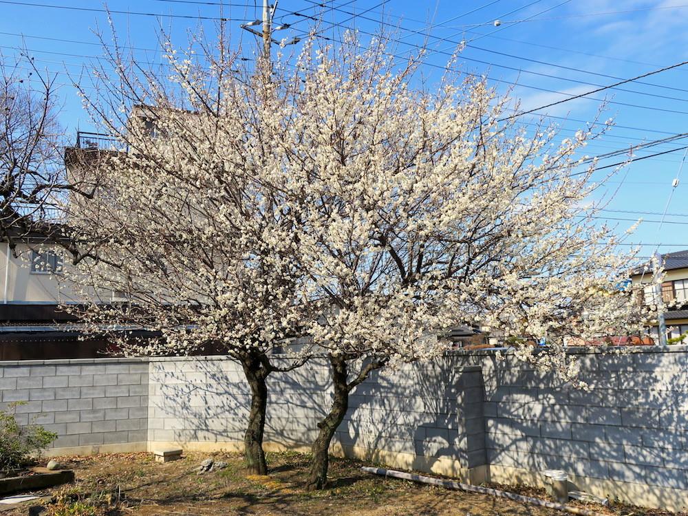 梅の木2017_1