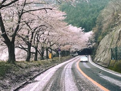 お花見ドライブ2017海津大崎
