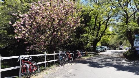 八重桜?かな?ぽってりした花が綺麗です@榎本牧場