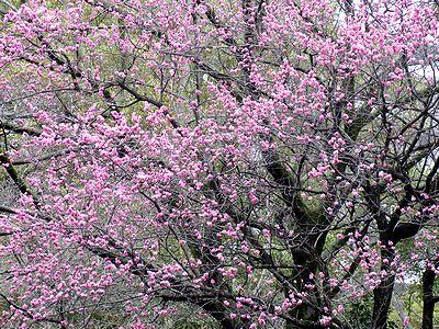 4/1の寒緋桜