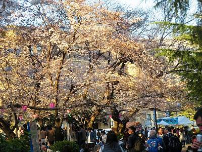 桜が五分咲きの鶴舞公園