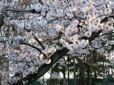 中にはほぼ満開の桜も