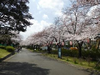 東白鬚公園の桜