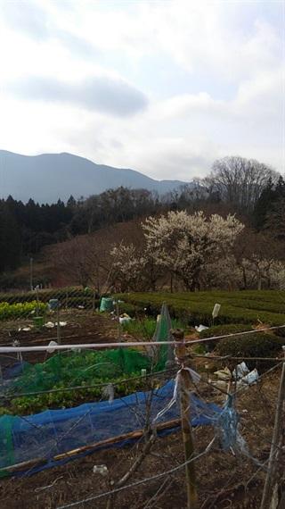 2017_03_30_三多気の桜_067_2017_04_22