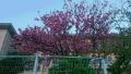20170418八重桜