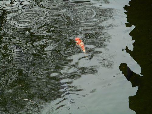 17_03_05お濠の鯉