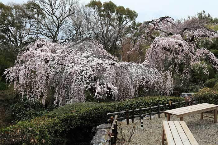 遍照院 枝垂桜1