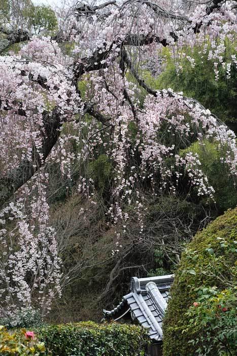 遍照院 枝垂桜2