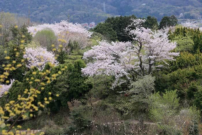 生駒山 桜2