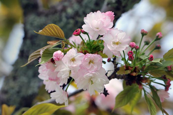 奈良八重桜5