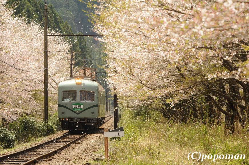DSC_7544 - コピー2017 4 16 大井川鐵道 田野口~駿河徳山 871 580 popoman