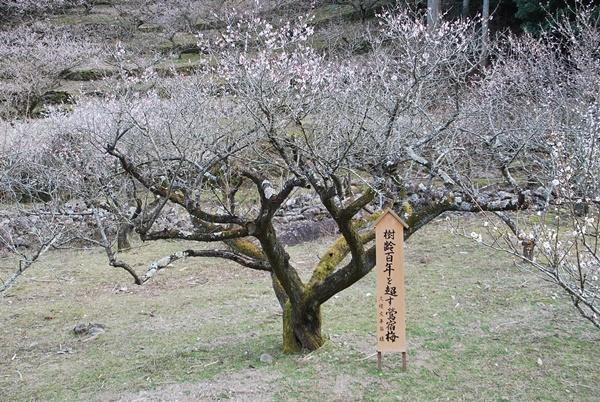 樹齢百年を超す梅の木