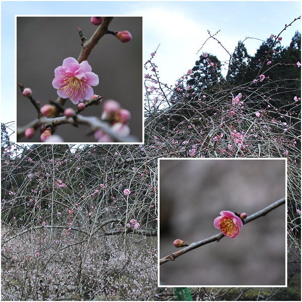 咲はじめ枝垂れ梅