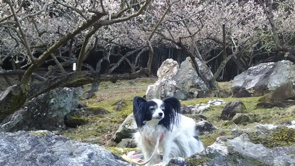 奇石と梅の花