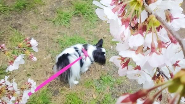 桜とルビー2