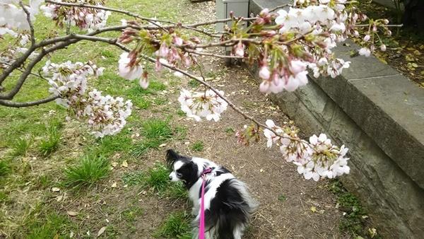 桜とルビー3