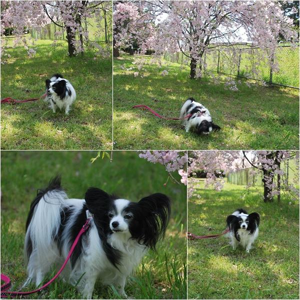 枝垂れ桜と3