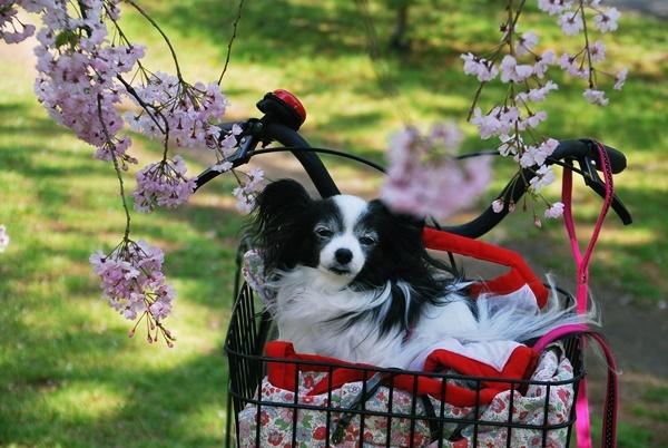 枝垂れ桜と5