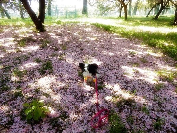 ピンクのじゅうたん2
