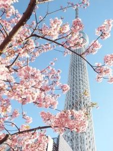 河津桜&スカイツリー