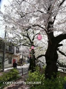 石神井川桜