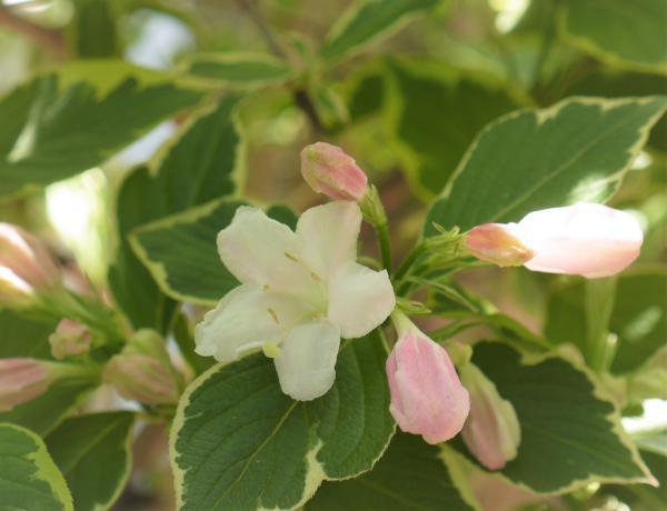 オオベニウツギ咲き始め201704