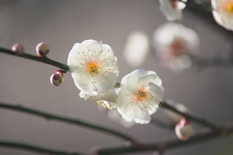 白梅が咲く頃