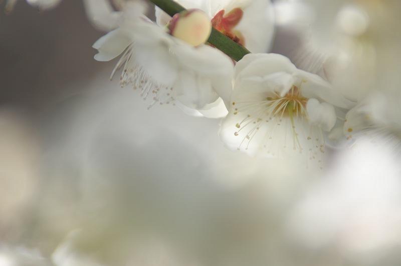 白梅が咲く頃 2