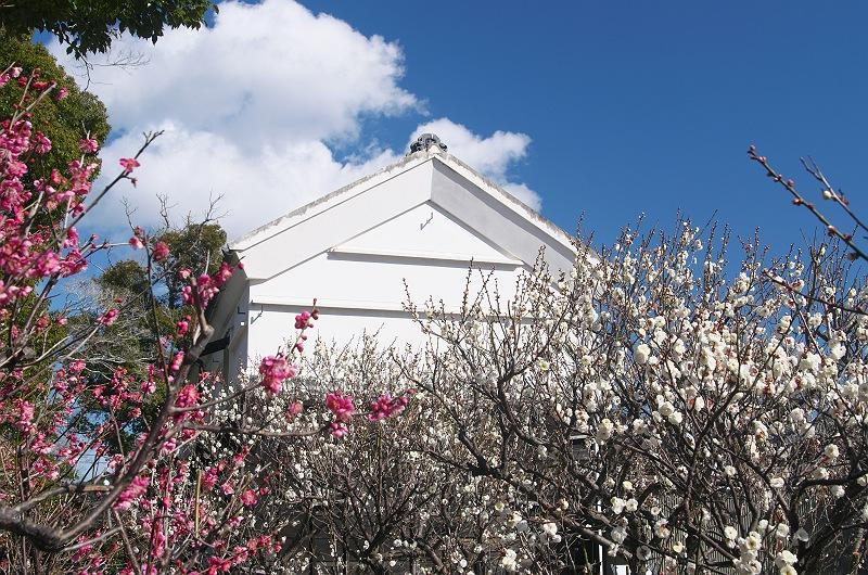 白梅が咲く頃 3