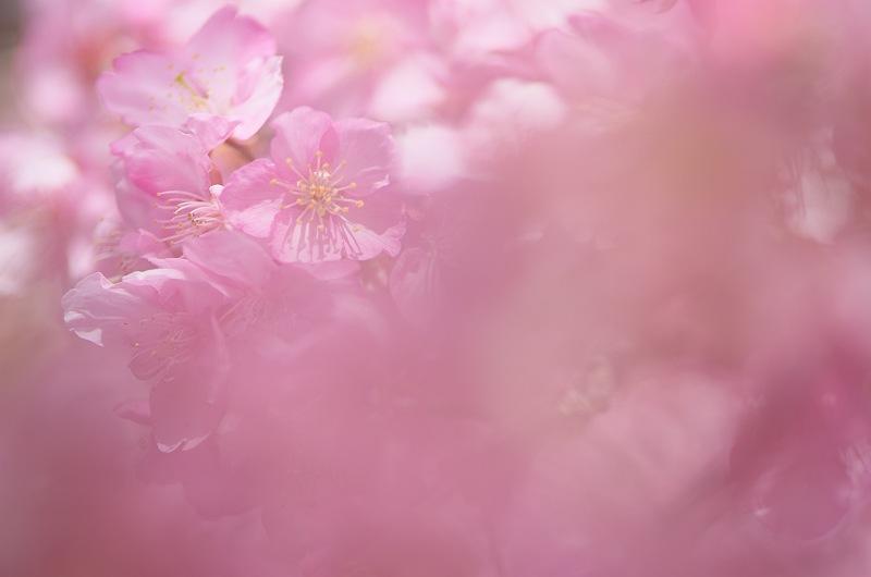 御前崎 福田沢の河津桜