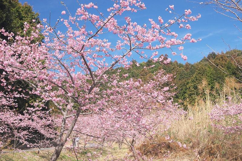 御前崎 福田沢の河津桜 2