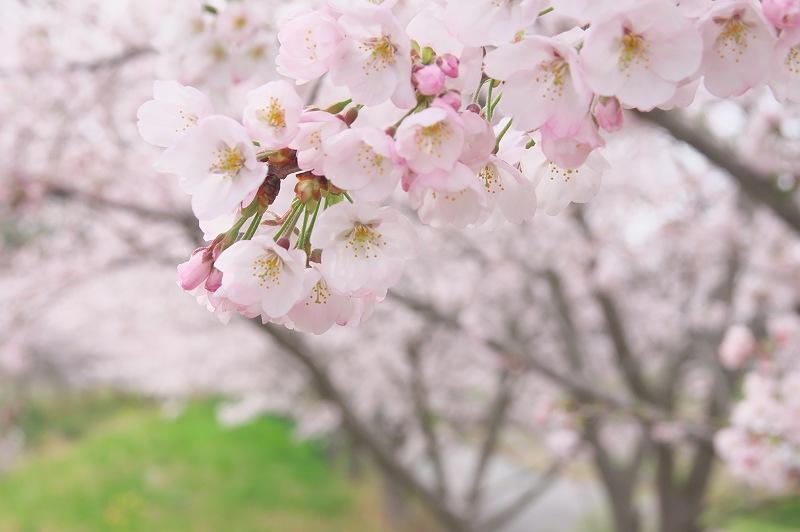 さくら咲く季節 1