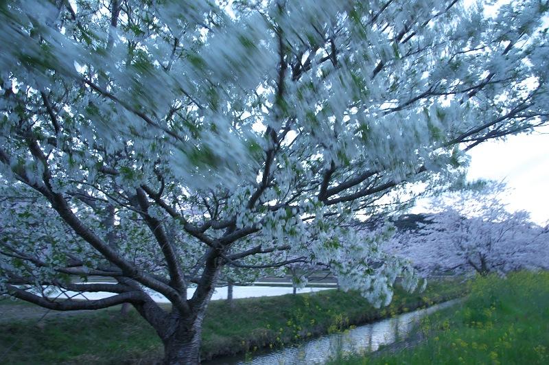 桜咲く風景