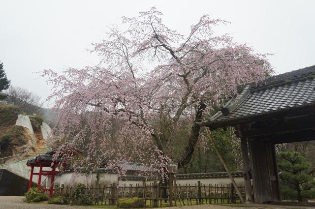 家康さん御手植え枝垂れ桜