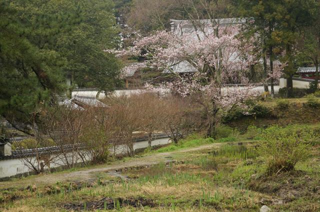 高月院の桜