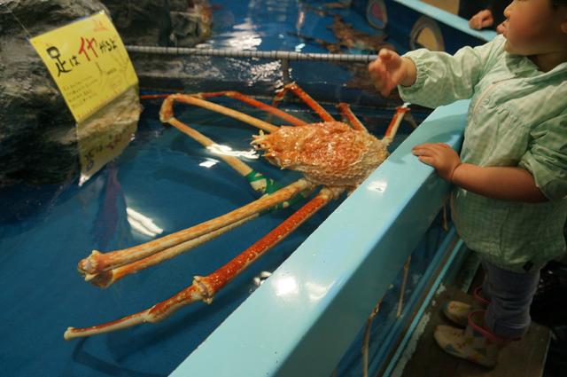 竹島水族館の目玉 触れるタカ脚カニ