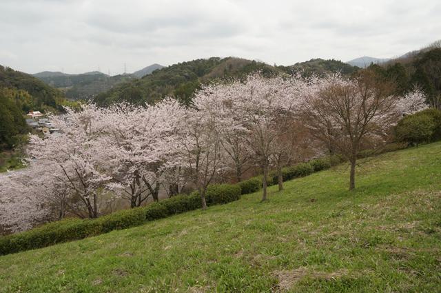 そのまんま公園の桜