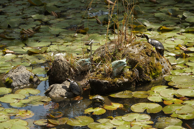 大樹寺の池の亀