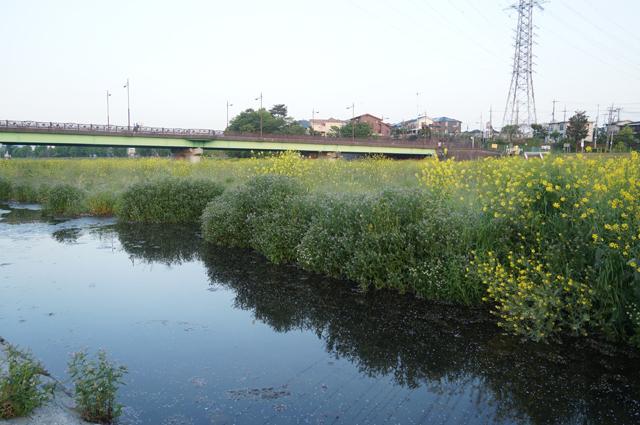 浅川の菜の花一台群生