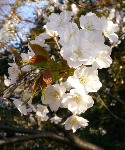 blog-sakura-nora.png