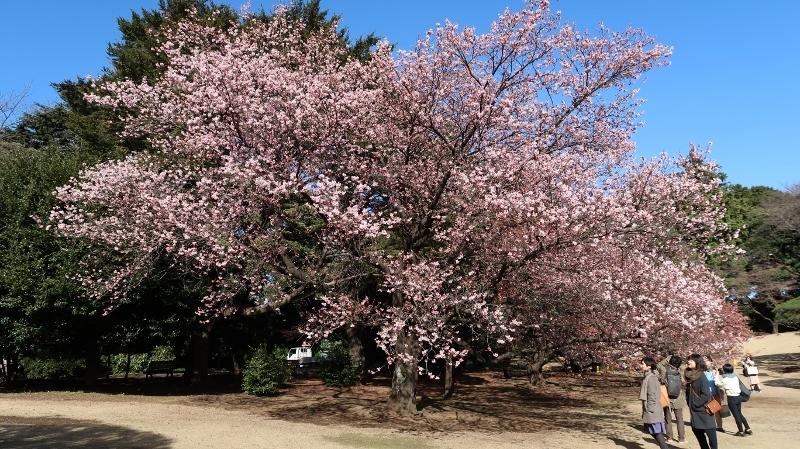 0120170221新宿御苑寒桜 (800x449)