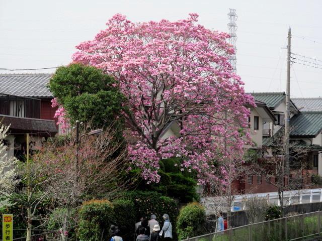 04恩田川桜 20120410