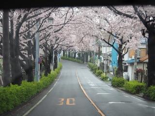 0408mitukyousakura2.jpg