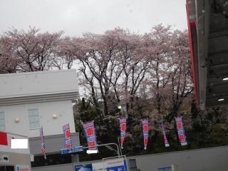 0409somesakura1.jpg