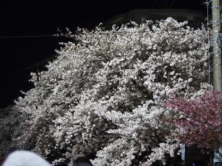0410ookawasakura5.jpg