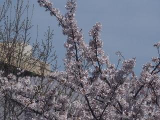 0412sgakkousakura1.jpg