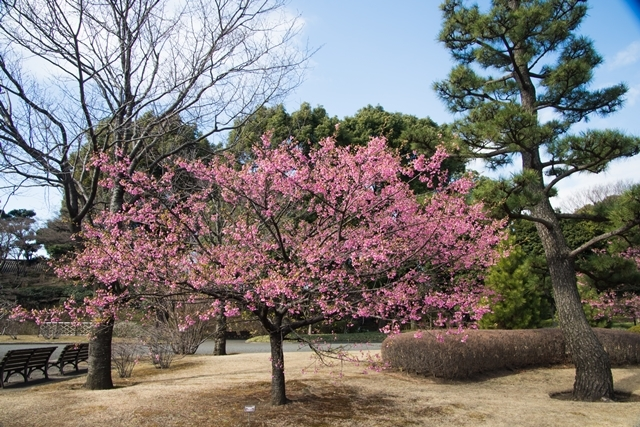 640DSC_4254琉球寒緋桜
