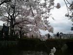 こりらっくまのブログ-桜