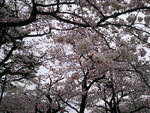 こりらっくまのブログ-桜2
